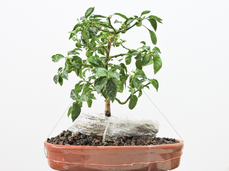 Bhut jolokia – bonchi root over rock