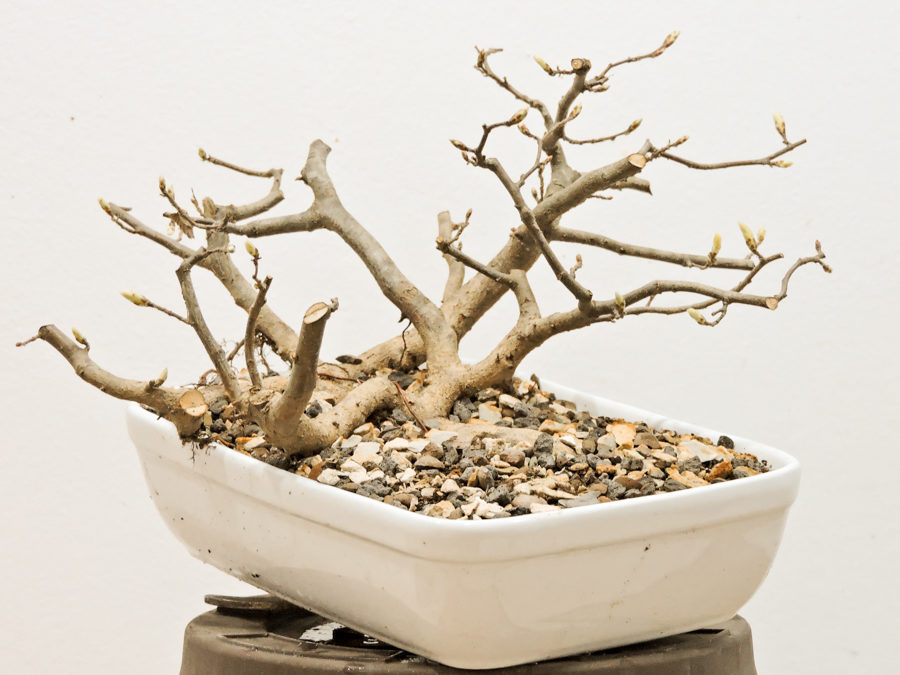 Yamadori – collected in Spring 2018 – Part II