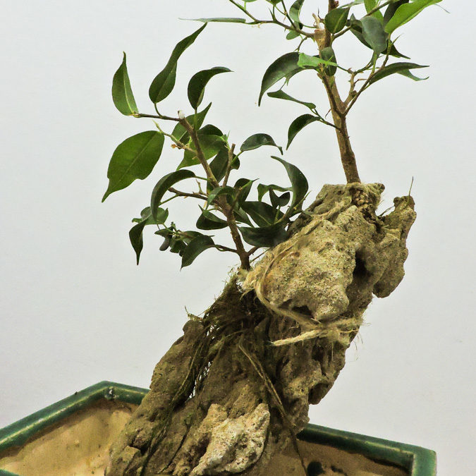 Ficus Benjamina – Root over rock –