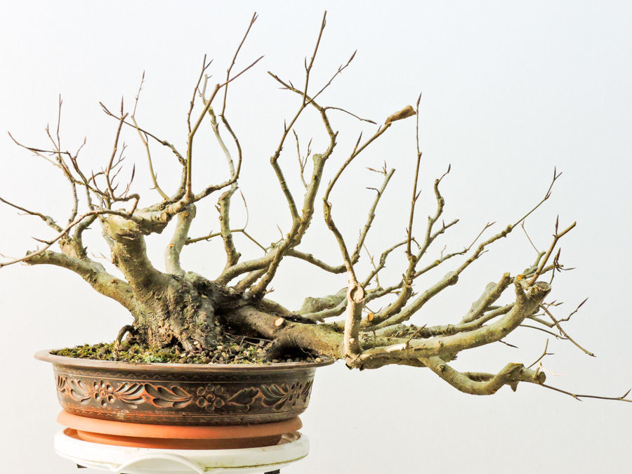Yamadori – Collected in spring 2019